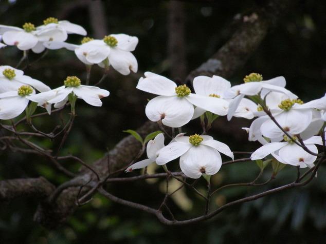 PopBetty - Dogwood Blossoms